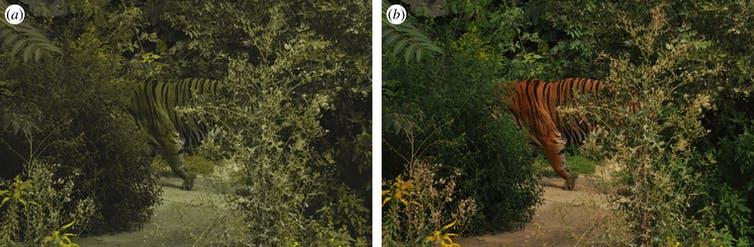 photo de tigre montrant comment un humain le verrait et comment un cerf le verrait