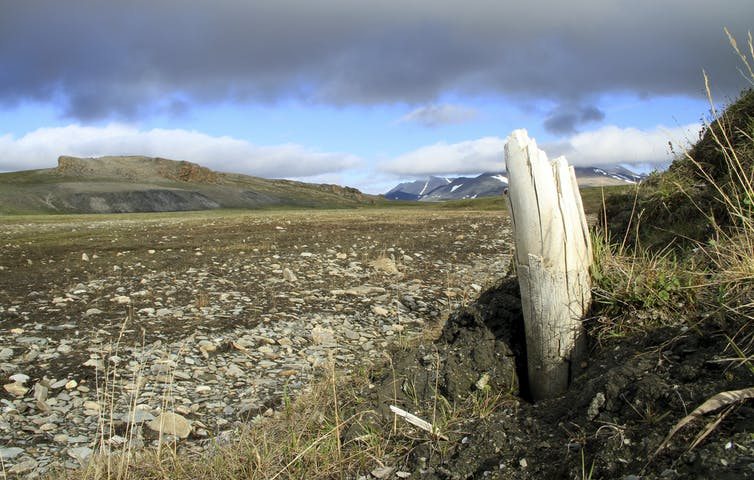 Woolly mammoth tusk emerging from permafrost