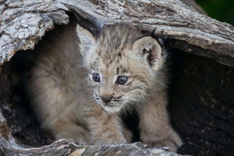 un bébé lynx