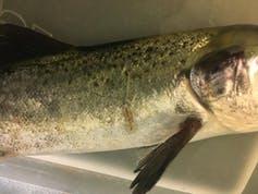 Pou femelle adulte accrochée à un saumon hôte