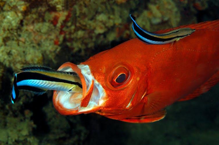 deux petits labres nettoyeurs sur un plus gros thon obèse orange à queue lunaire, dont un dans la bouche